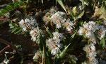 044-Paronychia argentea  Silber-Mauermiere