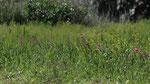 052-Gladiolus italicus