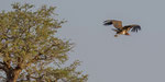Lappet-faced Vulture / Ohrengeier