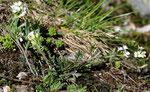 Fiederrauke / Murbeckiella pinnatifida / Grosser Sankt Bernhard 30.8.2019