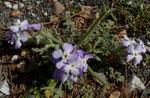 Dreihörnige Levkoje / Matthiola tricuspidata, blüht ab März (Strandlevkoje erst ab Mai)  im ganzen Mittelmeerraum vorkommend