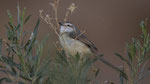 Black-chested Prinia / Brustbandprinie