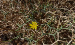 107-Launaea arborescens  Strauch-Dornlattich
