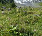 Gelbe Betonie / Stachys alopecuros / Chilchbalm Sefinental 27.7.2020