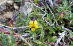Skorpions-Veilchen / Viola scorpiuroides, sehr kleine Blüten,   Griechenland, Ägypten