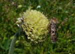 Alpen-Schuppenkopf / Cephalaria alpina