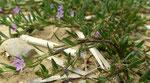 Ysopblättriger Weiderich / Lythrum hyssopifolia / Jussy GE 3.7.2020