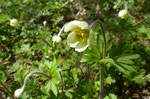Hügel-Anemone / Anemone sylvestris / Hasenbuck SH  24.4.2019