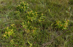 199 : Kreuzblättriger Enzian / Gentiana cruciata / Erschmatt 18.8.2020