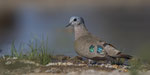Emerald - spotted Wood - Dove / Bronzeflecktaube