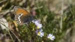 Alpen-Wiesenvögelchen oder der Alpen-Heufalter (Coenonympha gardetta) Kreuzboden - Saas Almagell 21. Juli 2018