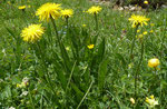 Berg-Pippau / Crepis bocconei