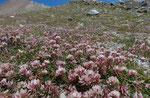 180 : Thals Klee / Trifolium thalii / oberhalb Flue 31.7.2020
