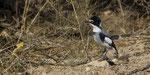 Drosselwürger / White - tailed Shrike