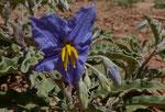 042-Solanum elaeagnifolium
