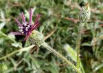 092-Volutaria tubuliflora