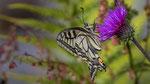 Schwalbenschwanz (Papilio machaon) Maderanertal 24. Juli 2018