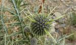 087- Echinops spinosissimus  Drüsenhaarige Kugeldistel