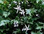 Kretische Rutenglockenblume - Petromarula pinnata, Kreta-Endemit, blüht erst ab April, nur ein einziges Mal blühend gesehen