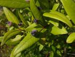 Myrte / Myrtus communis