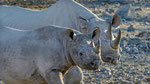 Spitzmaulnashorn / Black Rhino