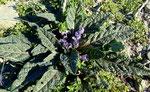 Herbst-Alraune / Mandragora autumnalis, Typischer Winterblüher, erstaunlich häufig vorkommend
