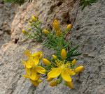 Krähenbeeren-Johanniskraut / Hypericum empetrifolium,  Balkan, Griechenland