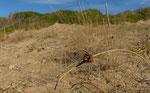 Dünen-Zyperngras / Cyperus kali. Ihr Wurzelwerk leistet einen wesentlichen Beitrag zur Verfestigung der Dünen