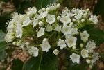 Lorbeer-Schneeball, Immergrüner Schneeball oder Steinlorbeer / Viburnum tinus,  blüht ab Januar