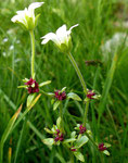 Nickender Steinbrech / Saxifraga cernua !  meist einblütig mit Brutzwiebeln in den Blattwinkeln