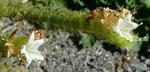 Italienischer Natternkopf / Echium italicum / Vionnaz 8.9.2020