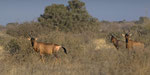 Red Hartebeest / Rote Kuhantilope