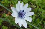 Anemone hortensis ssp. heldreichii      eine Unterart der Stern-Anemone nur auf Kreta