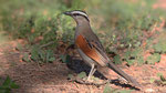 Senegaltschagra - Black- crowned Tchagra