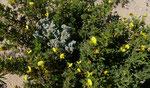 022-Ononis natrix subsp. arganietorum  Gelbe Hauhechel. arganietorum