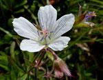 83 : Blassblütiger Storchschnabel / Geranium rivulare / Tufternalp ob Zermatt 24.6.2020
