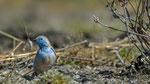Blauastrild / Blue Waxbill