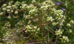 Faserschirm / Trinia glauca ,  weibliche Pflanze,  mit Streifenwanze / Felseck Biel 26.5.2019
