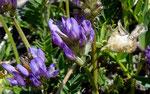 Tiroler Tragant / Astragalus leontinus / Mattmarkstausee 20.7.2020