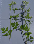 70 - 72 : Hecken-Kälberkropf / Chaerophyllum temullum / Meinier GE 15.6.2020