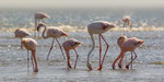 Rosa- und Zwergflamingo / Greater and Lesser Flamingo