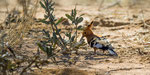 Afrikanischer Wiedehopf / African Hoopoe