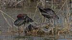 Sichler - Glossy Ibis