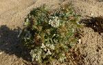 Starre Stacheldolde / Echinophora spinosa, üblich an Sandstränden