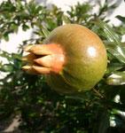 Granatapfel Fruchtsorte, Freiland Hauswestseite