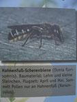 Hahnenfuß-Scherenbiene