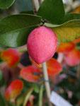 Frucht der Natalpflaume
