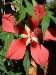 Hibiscus pallustris