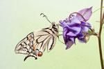 Schwalbenschwanz an Akelei