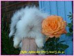 Ashna, bélier angora chinchila et blanche yeux bleux et bruns (Duchesse X DJANGO)